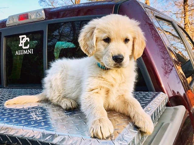 Why Golden Retrievers Top India S Vip List Why Golden Retrievers