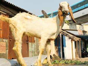 goat_bccl