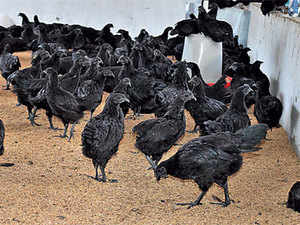 Black-chicken-bccl