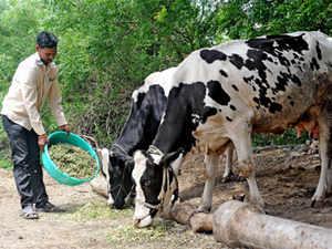cow-BCCL