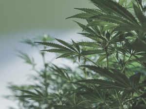 Paderu: Inside India's cannabis capital