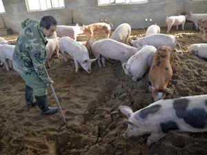 china-swine-fever-AP