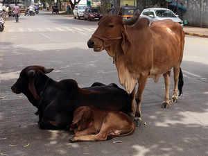 Cows-bccl