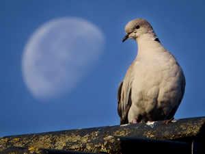 pigeon-ap