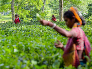 Erratic power supply takes heavy toll on Assam's Barak Valley tea estates