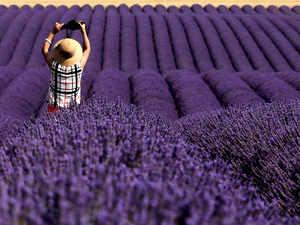 Lavender-