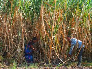 sugar-cane-BCCL