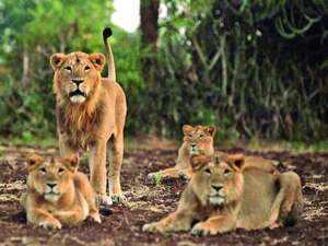 lions-ed