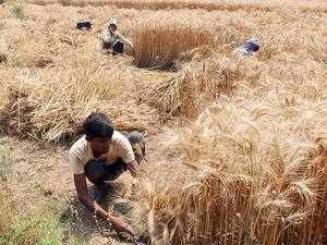 Modi cabinet likely to clear MSP hike for rabi crops today
