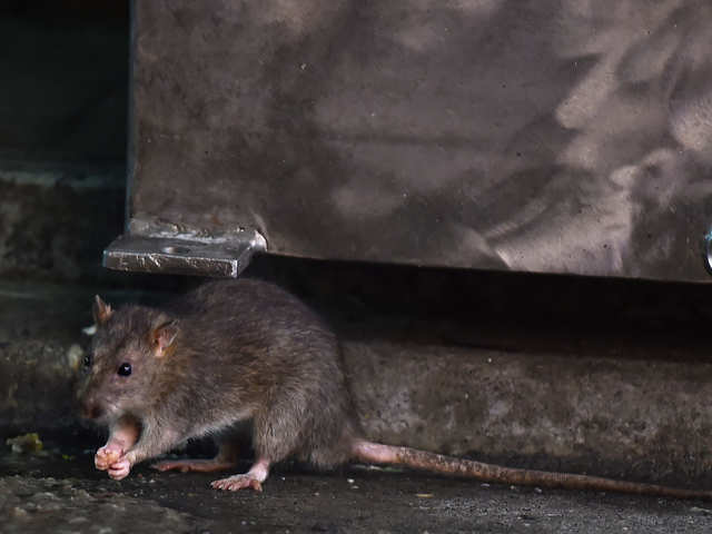 Ratted Out by Drunken Rodents