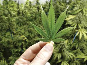Cannabis-bcc