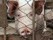 Pigs-Getty-1200