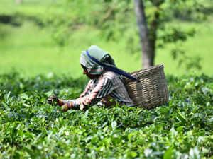 tea-plantation-AFP