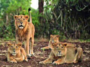 Gir lions TOI