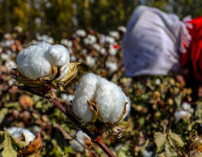 Cotton as source of bare necessities