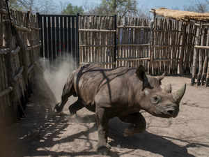 This file photo taken on May 4 2018 shows a black rhino runing around  AFP