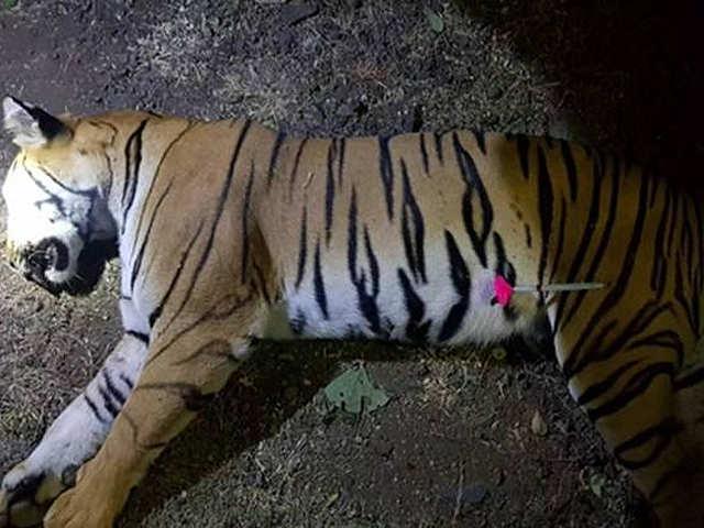Man-eater' tigress Avni shot dead at Yavatmal in Maharashtra