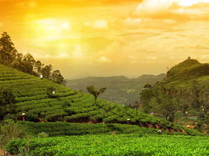 tea-plantations