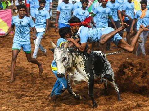 What is Jallikattu? - Jallikattu: A contested sport injures