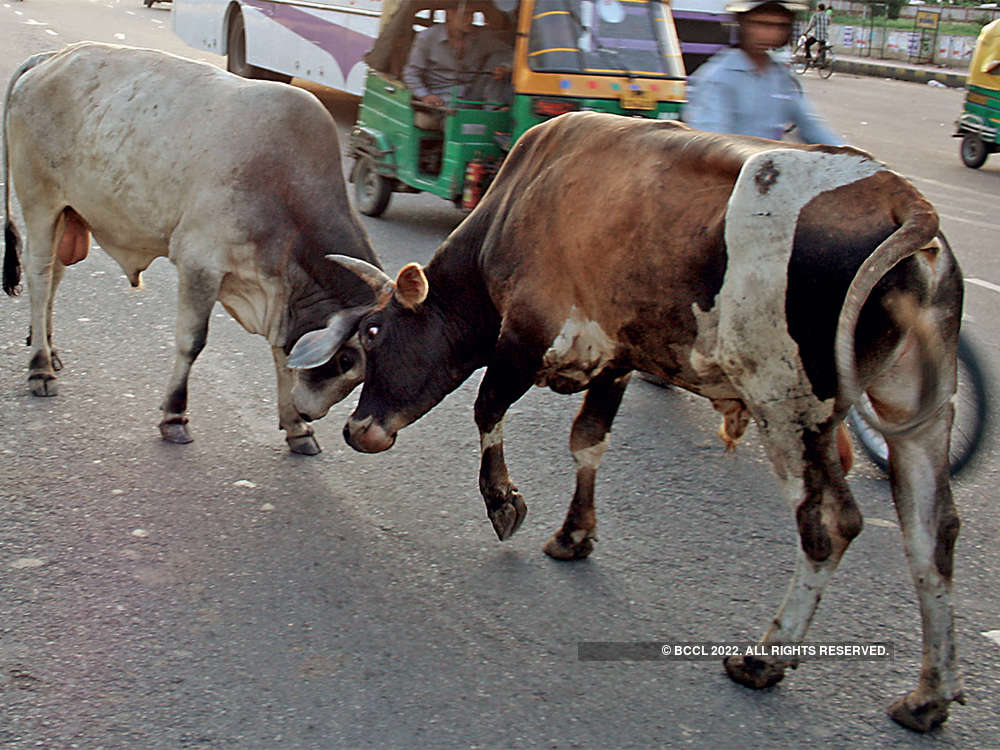 What made rural India abandon its cattle in droves