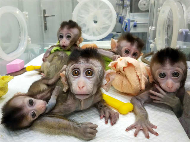 Image result for Chinese scientists clone five monkeys