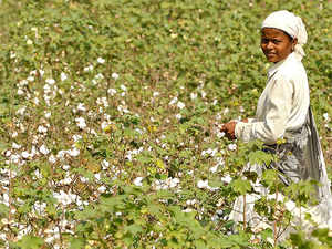 cotton-farming.-bccl