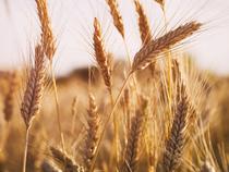 Wheat-Getty-1200