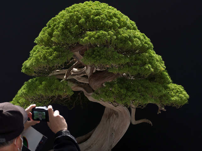 400-year-old bonsai tree worth $118K gets stolen days before entering Japanese beauty competition