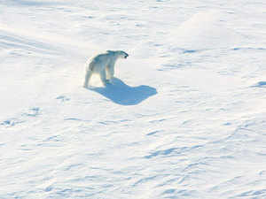 Polar-bear-AFP