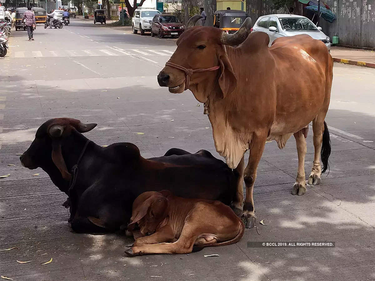 jharkhand cow meat: Latest News & Videos, Photos about