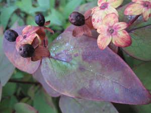 Blueberries-AP