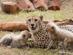 Cheetahs from Namibia to be kept at Nauradehi sanctuary, NTCA tells SC