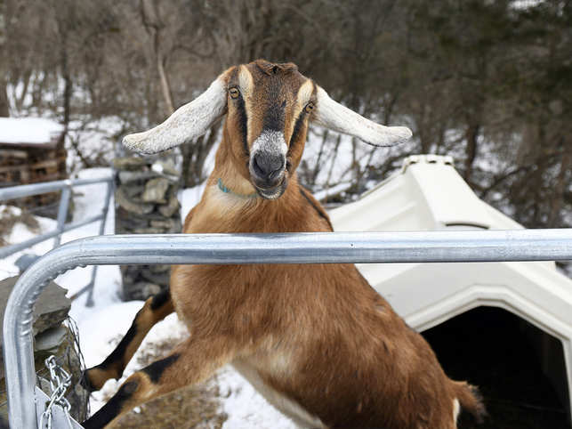 Lincoln, a Nubian goat, who was elected 'Pet Mayor' for the town of Fair Haven, Vermont.