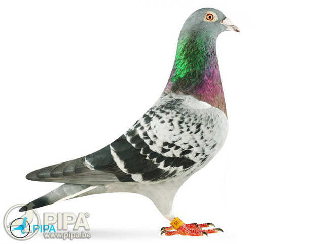 Meet Armando, the Belgian star pigeon that fetched over $1.4 mn at auction