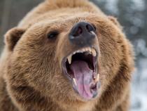 Bear2-Getty-1200