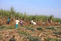 Workers harvest sugarcane in a filed in Gove village