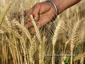 six-generations-of-wheat-in-a-year