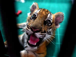 Tiger tense hai: Big cat worried about sperm count & headcount