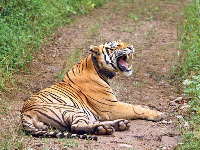 Quick getaways: Drive to Sariska National Park from Delhi; visit coastal village of Velas from Mumbai