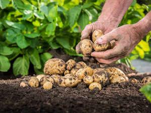 Potato-getty