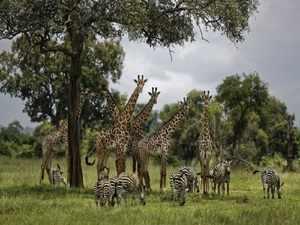 Environment Girafee Zebra AP