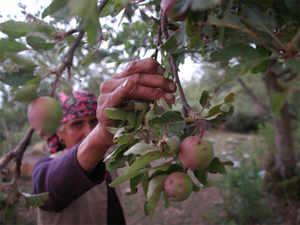 himachal-apples-bccl