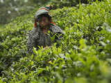 TDS on cash withdrawal to compromise the liquidity of tea estates
