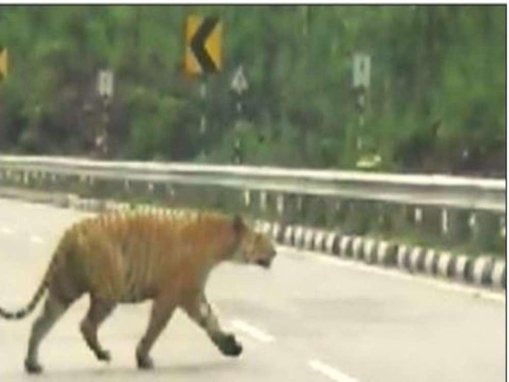 Pench tiger crossing NH-7 raises concern