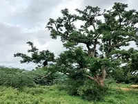 Tree story gets a sour twist: 54-acre tamarind grove near B'luru, among India's few biodiversity heritage sites, calls for help