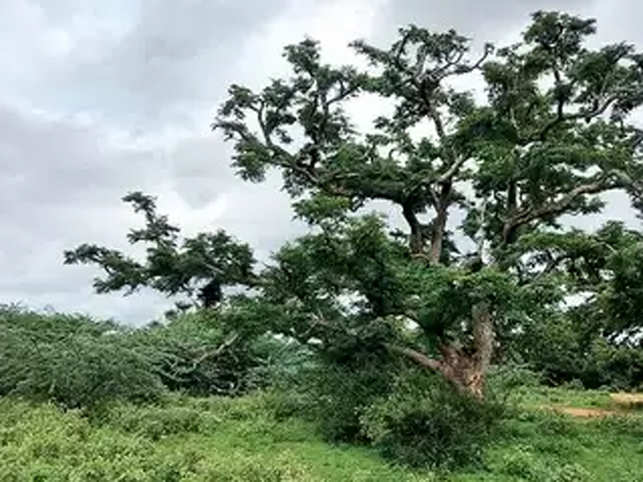 Tree story gets a sour twist: 54-acre tamarind grove near B