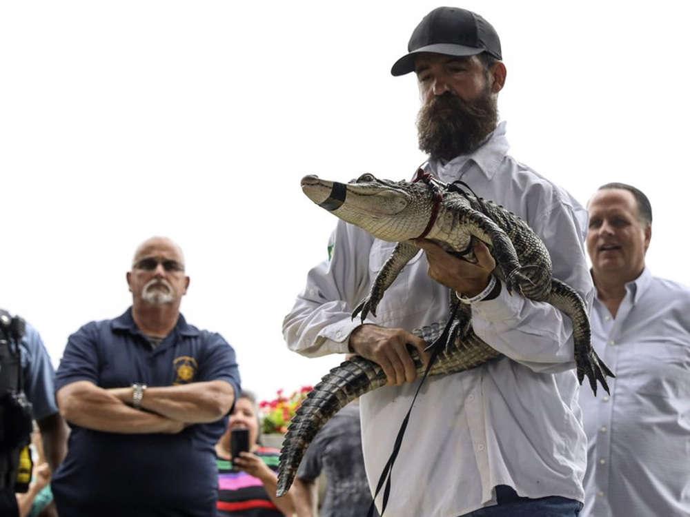 Florida expert captures elusive alligator at Chicago lagoon