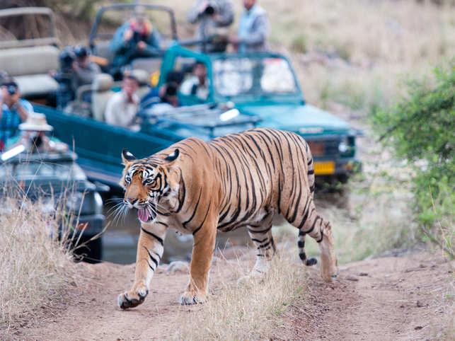 tiger-getty