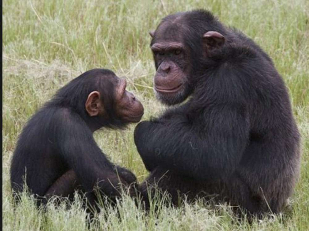 Not just humans, chimpanzees too love to watch movies together