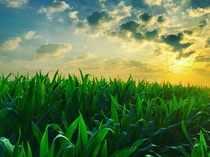 maize-getty